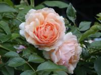 Rosa 'Apricot Queen'  Rose flowers