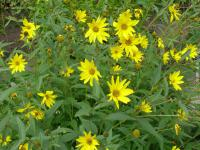 Heliopsis helianthoides   - smooth oxeye