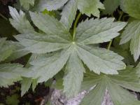 Astrantia major   astrantia leaves