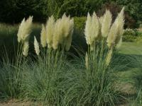 Cortaderia selloana   - pampas grass