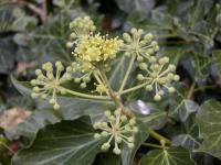 Hedera helix   English ivy flowers