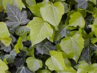 Hedera helix   English ivy leaves