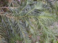 Taxus baccata   Common Yew twings