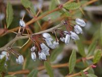 Berberis julianae   wintergreen barberry fruits