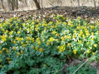 Eranthis hyemalis   Winter Aconite plant