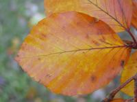 Fagus sylvatica        'Atropunicea'  red beech leaves