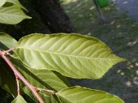 Prunus serrulata         'Kanzan'  Japanese Cherry leaves