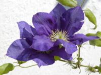 Clematis patens       'The President'  clematis flowers