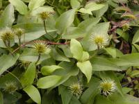 Clematis patens             'The President'  clematis fruits