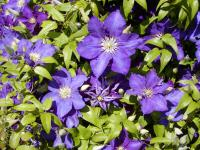 Clematis patens 'The President'  clematis plant