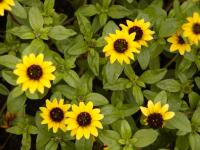 Sanvitalia procumbens   Mexican Creeping Zinnia flowers