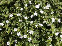 Sutera cordata   Ornamental bacopa flowers