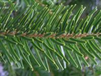 Abies nordmanniana   European silver needle