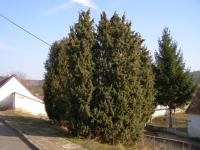 Jalovec obecný (Juniperus communis)