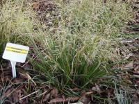 Deschampsia caespitosa  'Palava' - tufted hair grass