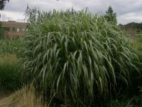 Miscanthus sinensis  'Cabaret' - Chinese Silver Grass