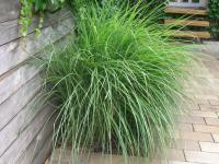 Miscanthus sinensis  'Gracillimus' - Chinese Silver Grass