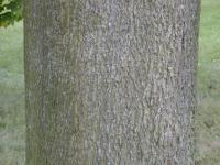 Acer platanoides          'Globosum'  Norway maple ross or bark