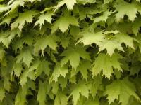 Acer platanoides            'Globosum'  Norway maple leaves