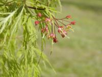 Acer palmatum     'Dissectum'  Japanese maple flowers