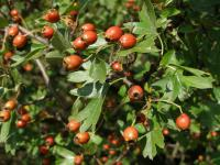 Crataegus laevigata   English hawthorn fruits