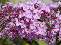 Buddleia davidii   'Pink Delight'  butterfly bush flowers