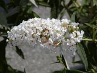 Buddleia davidii  'White Profusion' - butterfly bush
