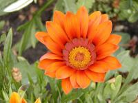 Gazania rigens   Treasureflower flowers