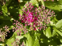 Spiraea x bumalda     'Anthony Waterer'  Japanese spiraea knots