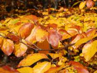 Fagus sylvatica   red beech leaves