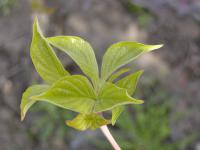 Cornus florida   cornel leaves