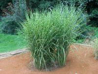 Miscanthus sinensis 'Strictus'  Chinese Silver Grass plant
