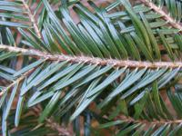 Abies alba   European silver needle