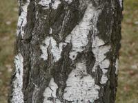 Betula pendula   white birch ross or bark