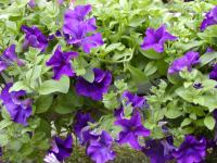 Petunia  Surfinia Blue - surfinia