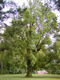 Quercus robur  'Fastigiata' - Columnar English Oak