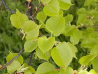Tilia cordata   Small-leaved Lime leaves