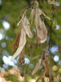 Tilia tomentosa   Silver Lime fruits