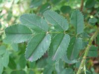 Rosa spinosissima   Burnet Rose leaves