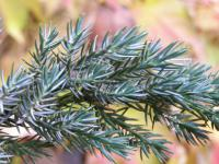 Juniperus horizontalis        'Wiltonii'  Creeping Juniper twings