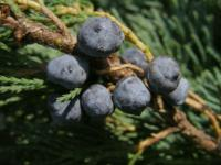 Juniperus horizontalis      'Wiltonii'  Creeping Juniper fruits