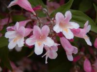 Kolkwitzia amabilis  'Pink Cloud' - Beauty Bush