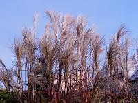 Miscanthus sinensis  'Silberfeder'  Chinese Silver Grass plant