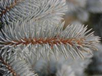 Picea pungens     'Glauca Globosa'  Colorado Spruce twings