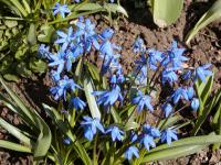 Scilla siberica 'Spring Beauty'  Siberian Squill plant