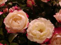Rosa      'Nostalgie'  Rose flowers