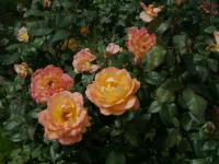 Rosa    'Whisky'  Rose flowers