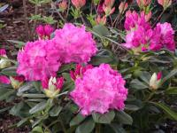 Rhododendron 'Germania'  rhodie plant
