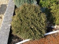 Zerav západní 'Tiny Tim' (Thuja occidentalis)