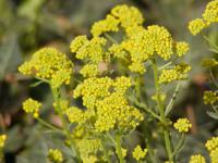 Aurinia saxatilis   basket of gold flowers